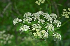Weiße Spitzen- Blumen von goutweed Stockfoto