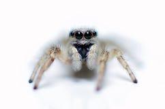Weiße springende Spinne Lizenzfreie Stockbilder
