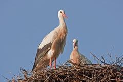 Weiße Störche auf dem Nest Lizenzfreie Stockfotos