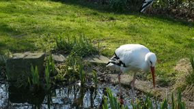 Weiße Störche, die auf Teich stehen stock video
