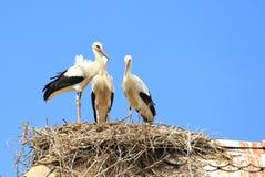 Weiße Störche im Nest Lizenzfreies Stockfoto