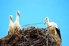 Weiße Störche im Nest Stockbild