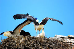 Weiße Störche im Nest Stockfotos