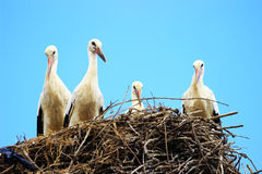 Weiße Störche im Nest Lizenzfreies Stockbild