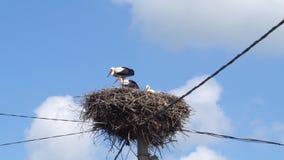 Weiße Störche im Nest auf einem Pfosten gegen einen blauen Himmel stock footage