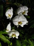 Weiße steigende Orchideen Stockfotografie