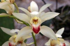 Weiße sternförmige Orchidee Stockbilder