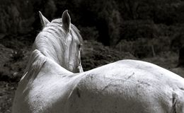 Weiße Stute, die ihren Kopf dreht stockfotos