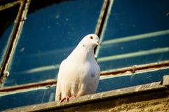 Weiße Taube auf dem Rand Stockfotografie