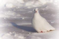 Weiße Taube auf dem Schnee lizenzfreie stockfotos