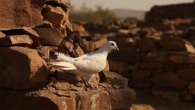 Weiße Taube auf der Wand stock video footage