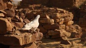 Weiße Taube auf der Wand stock footage