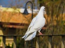 Weiße Taube auf schönem Hintergrund Stockfotos