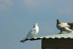 Weiße Taube des Friedens Stockfoto