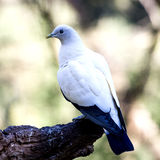 Weiße Taube, die auf dem Baum sitzt stockfotografie
