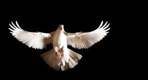 Weiße Taube mit offenen Flügeln fliegt auf einen schwarzen Hintergrund Stockfotografie
