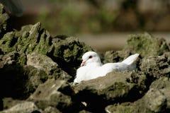 Weiße Taube unter Felsen Stockfotos