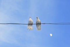 Weiße Tauben Stockbild