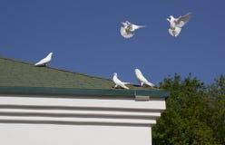 Weiße Tauben Stockfotografie
