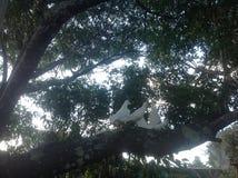 Weiße Tauben Lizenzfreies Stockfoto