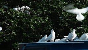 Weiße Tauben auf Dach und in den Bäumen stock video