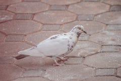 Weiße Tauben, die nach Lebensmittel aus den Grund suchen Stockfotografie