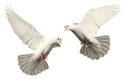 Weiße Taubenfliegen Stockfoto