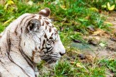 Weiße Tiger, die morgens gähnen Stockfoto