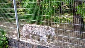 Weiße Tiger in einem Käfig Stockfotografie