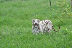 Weiße Tigerin Indien stockbild