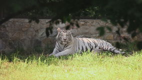Weiße Tigerin mit Jungem stock footage