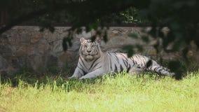 Weiße Tigerin mit Jungem stock video footage