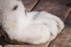 Weiße Tigertatze Lizenzfreies Stockbild