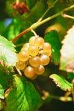 Weiße Traube Albariño Stockbild