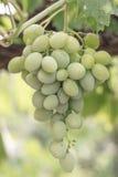 Weiße Trauben stockbild