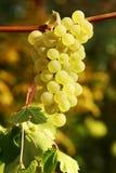 Weiße Trauben Stockfoto