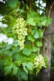 Weiße Trauben auf einem Zweig Lizenzfreie Stockbilder