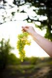 Weiße Trauben auf einer Niederlassung in der Sonne lizenzfreie stockfotografie