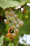 Weiße Trauben-Bündel bereit zur Ernte Stockfotografie