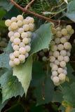 Weiße Trauben in einem Weinberg Lizenzfreie Stockfotografie