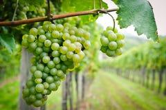 Weiße Trauben in einem Weinberg Lizenzfreie Stockbilder