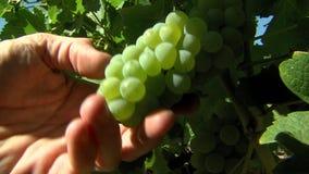 Weiße Trauben in einem Weinberg stock video