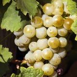 Weiße Trauben Ende des Herbstes Stockfotos