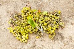 Weiße Trauben Ernte und Scheren Stockfoto