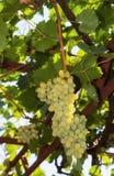 Weiße Trauben im Weinberg Stockfotos
