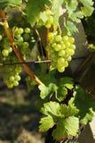 Weiße Trauben im Weinberg im Sonnenlicht Stockfotos