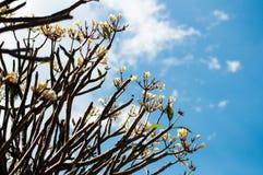 Weiße tropische Blumen Lizenzfreie Stockfotos