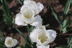 Weiße Tulip Bloom Lizenzfreie Stockfotografie