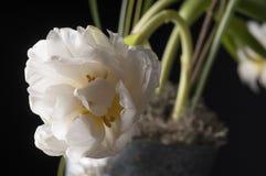 Weiße Tulpe über grauem Hintergrund Stockfotos