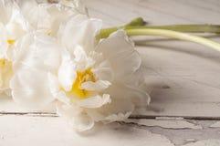 Weiße Tulpe über hölzernem Hintergrund Stockbild